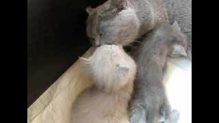 Британская кошка и ее котята