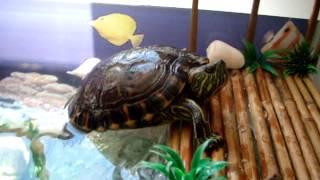 Aquário Tartaruga Tigre