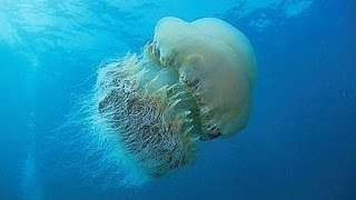 The Biggest Jellyfish Of The Planet