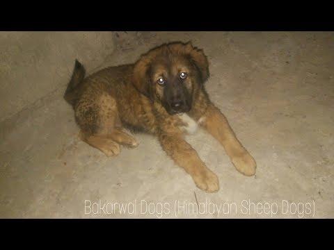 Bakarwal Female   67 Days Old   Himalayan Sheep Dog