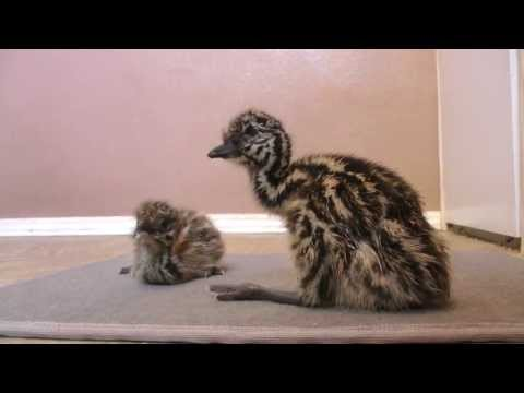 Funny video - Newborn Emu chicks learn how to walk sooooo cute