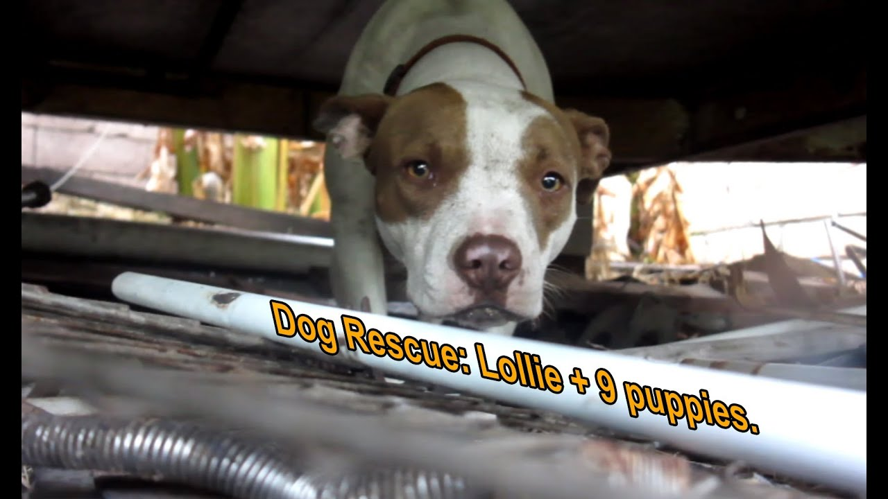 dog rescue pregnant pit bull with 9 puppies   please