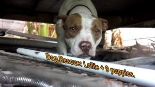 Dog Rescue: Pregnant Pit Bull with 9 puppies - Please share so we can find her a home.