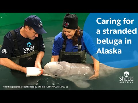 Caring for a Stranded Beluga in Alaska