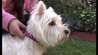La raza West Highland White Terrier, vista por una propietaria.