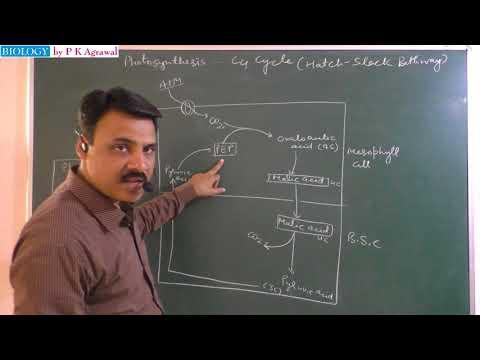 C4 cycle (Hatch and Slack Pathway) Dark reaction