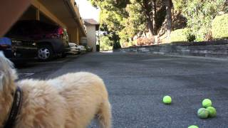 Cairn Terrier Chronicles: Pavlov Happily Freaking Out Over A Bunch Of Tennis Balls.