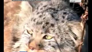Фотографии дикого кота манула вызвали в Интернете всплекс эмоций