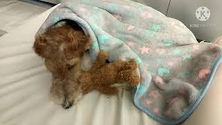 LAKELAND TERRIER AND SMOOTH FOX TERRIER DOG #mgalaganamingaso #doglover || RIA MIX VLOG