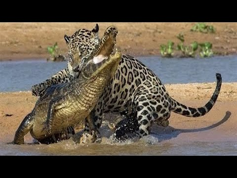 Crocodile vs alligator fight - photo#17
