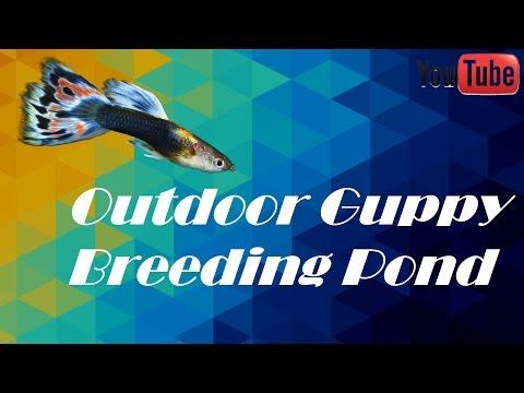 Outdoor Guppy Breeding Pond