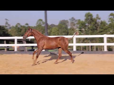 Lote 22  - Paz Aguilar -Cavalos puro sangue Lusitanos - Coudelaria aguilar