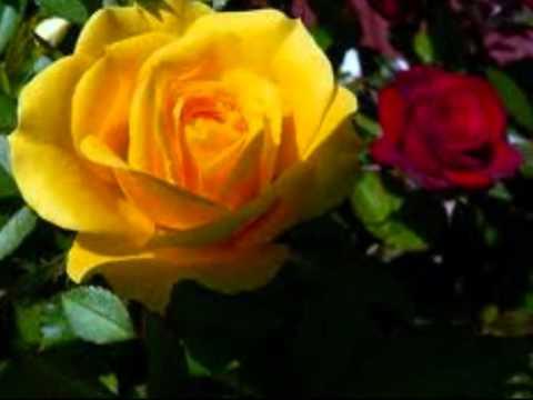 из жизни желтых роз