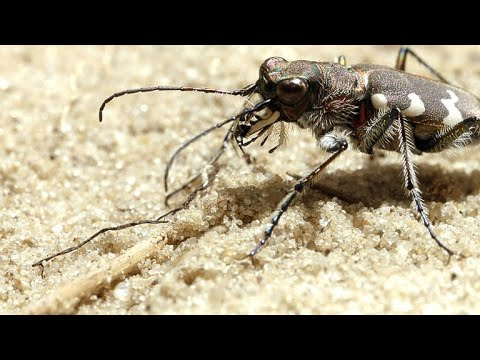The Tiger Beetle is Incredibly Fast for its Size