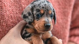 Funny Dachshund puppies Instagram Videos compilation 2021, Sausage puppies 2021 compilation