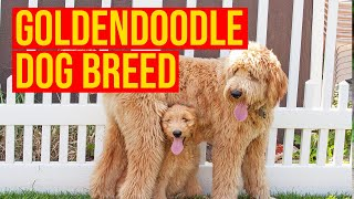 Goldendoodle Dog Breed, Top 10 Facts You Need To Know