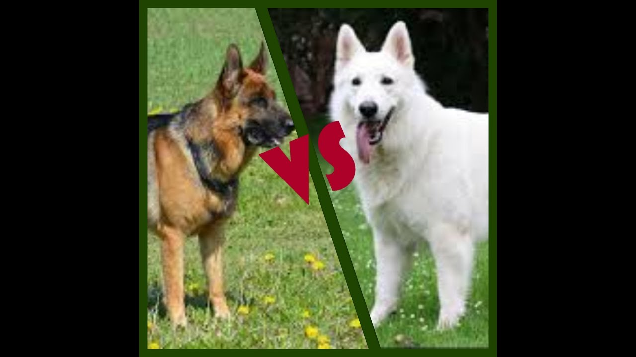 Berger Allemand VS Berger Blanc Suisse - YouTube
