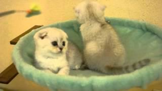 "Котята скоттиш фолд, Одесса, питомник ""Snow Owl"""