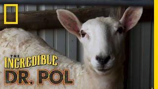 Ewe Oughta Know | The Incredible Dr. Pol