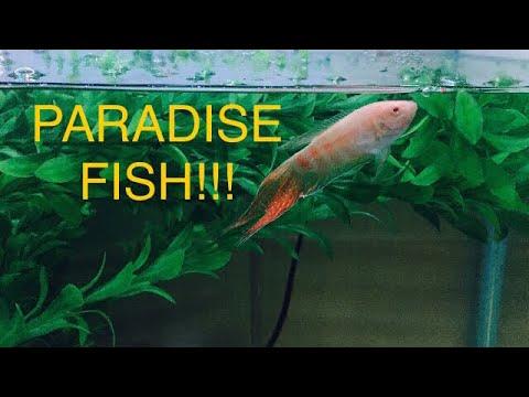 Albino Paradise Gouramis & African Cichlid Fry