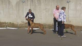 Интернациональная выставка собак родезийский риджбек в Великом Новгороде ранга CACIB - FCI