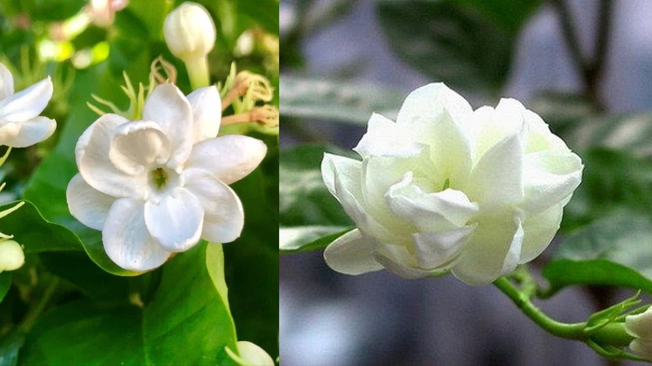 Chỉ cần trồng 1 Chậu hoa Nhài trong nhà đúng phong thủy thì tiền vào như nước bạn không nên bỏ qua