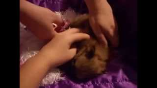 Mixed Breed Mixed Color Uk Breed Tiny Tea Cup Pomeranian For Sale