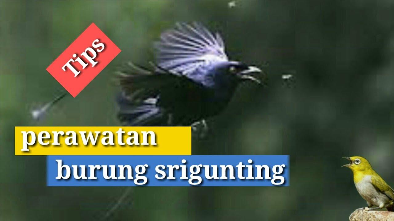 perawatan burung srigunting biar rajin bunyi untuk pemula