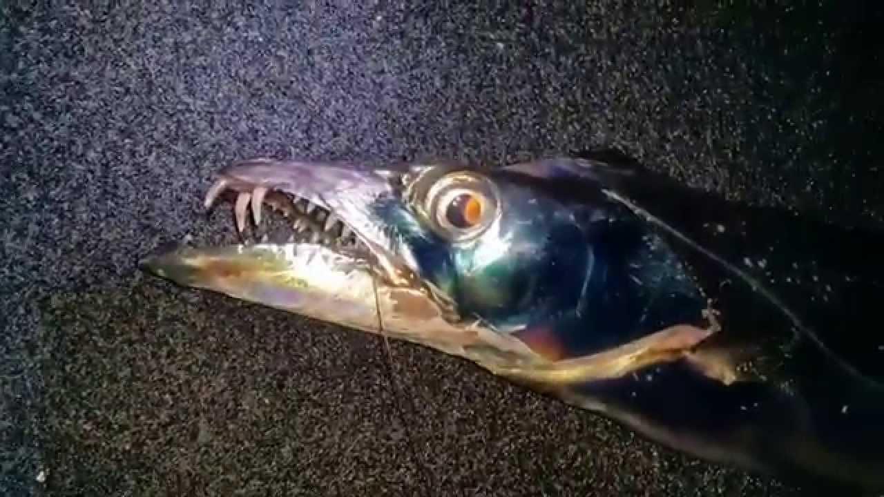 Hairtail Fish | Hairtail Fishing Youtube