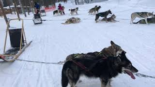 Rocco meeting the Husky dogs in Lapland