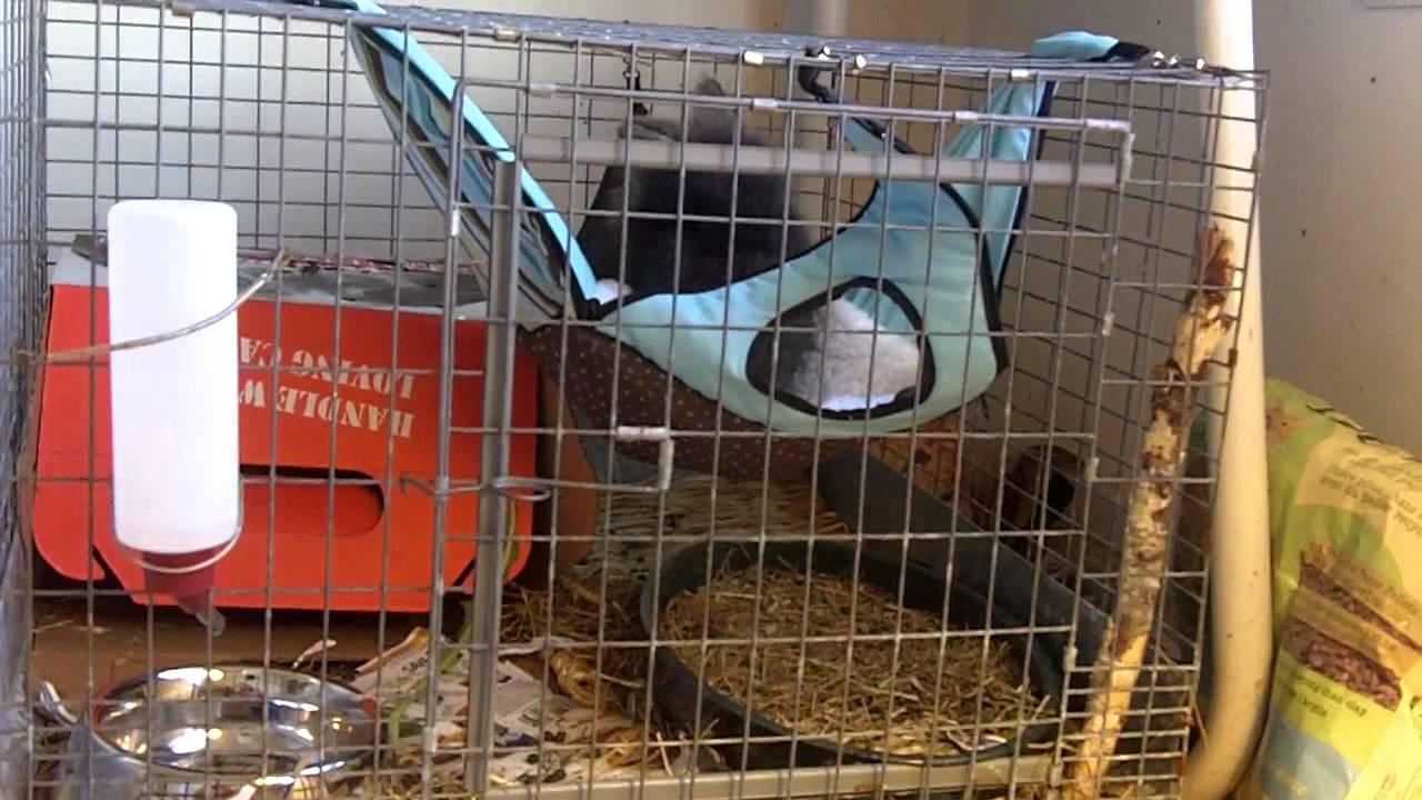 Frankie S New Hammock Lion Headed Rabbit Youtube