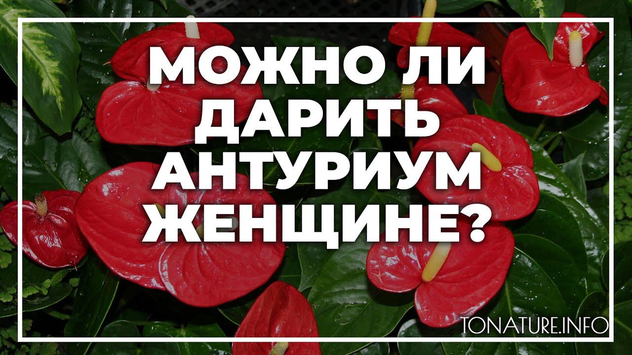 Можно ли дарить антуриум женщине? | toNature.Info