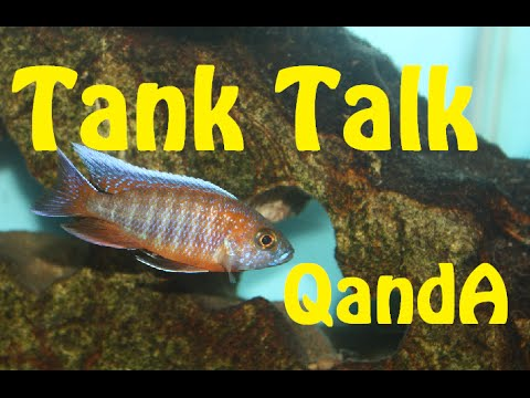 Fish Flashing? Show/Grow Out Tank? Africans And Guppies? Tank Talk QandA!!