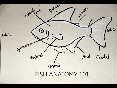 Fish Fin Anatomy 101 - YouTube