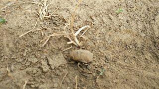 ニイニイゼミの幼虫と成虫!