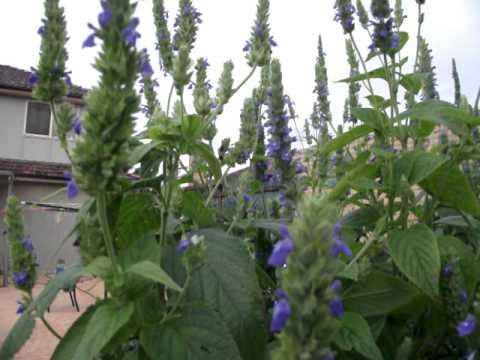 Chia seed plants 2 - YouTube