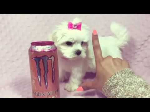 Little Miss Perfect - Teacup Maltese Puppy by PuppyHeaven.com