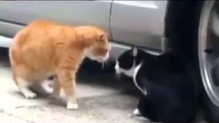 Кошки разговаривают. Забавные кошки. Кошки мяукают. Приколы с кошками 2015