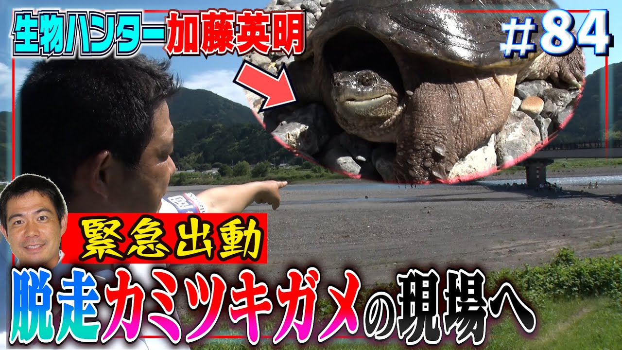 【速報カミツキガメ】加藤が捕獲しニュースに!5月30日の裏側・捕獲までのドキュメント≫生物ハンター加藤英明
