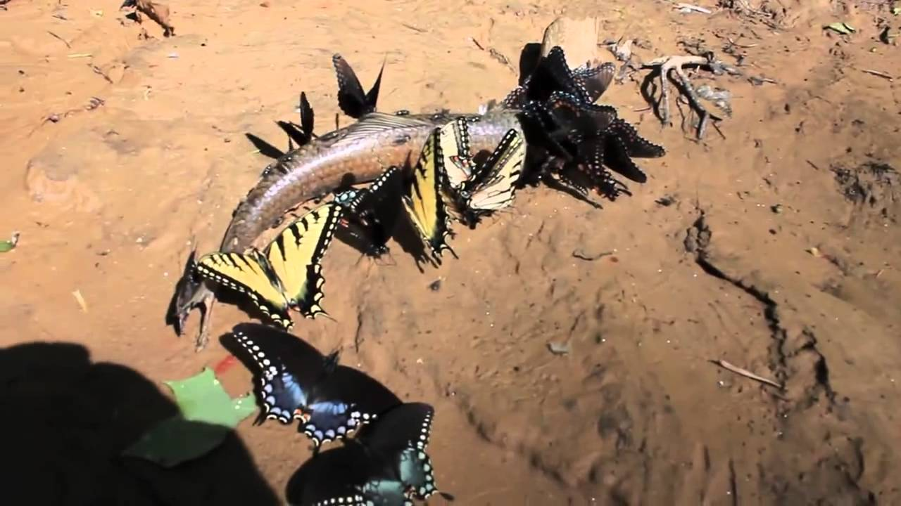 Butterfly eating fish