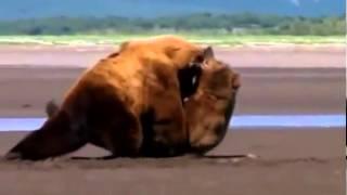 Смотреть видео бои медведей видео