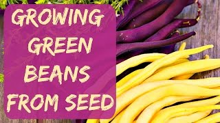 How To Grow Green Beans From Seed - Planting My Bush Beans In Cups - Arizona Vegetable Garden