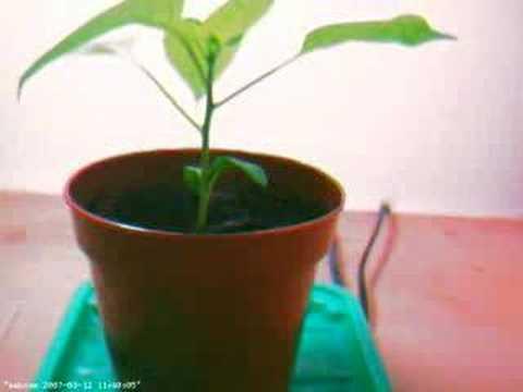 Growing chili pepper (Black Hungarian)