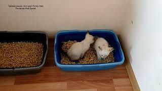 На лоток тайские котята ходят парами, как в детском саду! Тайские кошки   это чудо! Funny Cats