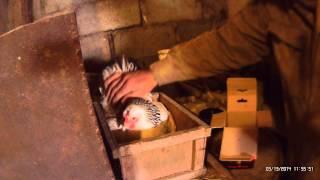 Природный инкубатор 13 03 2014(В феврале курица решила сесть на яйца, долго сидела на одном (куры перестали нестись и перехаживали). Каждый..., 2014-03-19T14:27:46.000Z)
