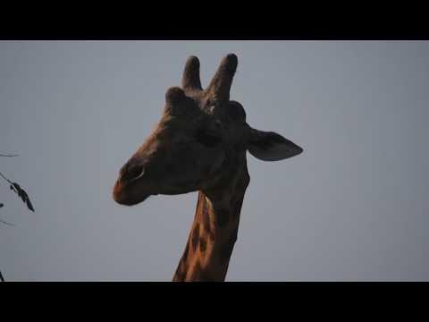 P1271389   Giraffe Murchison Falls NP