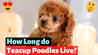 Teacup poodle: Interesting Facts and Detailed Guide on this dog breed