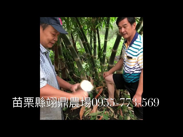 甜龍筍現場試吃- 黃金筍與甜龍筍有什麼不同?