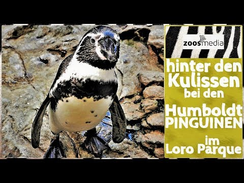 Loro Parque: Humboldt-PINGUINE im Planet Penguin 🐧 | zoos.media