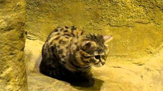 Young Black Footed Cat at the Brookfield Zoo in Chicago IL